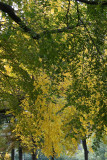 Park View - Elm Tree Foliage