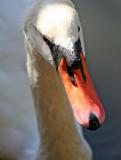 Swan at the Ramble Lakeshore Feeding Station