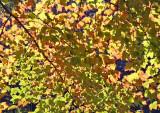 Ramble Path View of Maple Foliage