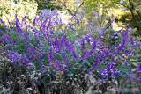 Shakespeare Garden Area - Unknown Blue Flowers