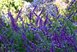 Shakespeare Garden Area - Unknown Blue Flowers