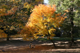 Westside Woods - Maple in Full Fall Color