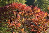 Red Sumac Foliage at the Duck Pond
