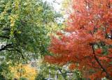Maple & Osage Orange Foliage at Washington Square East