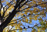 Roosting Pigeons in an Elm Tree