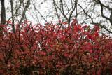 Burning Bush & Sycamore Trees