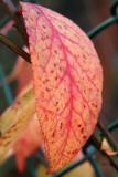 Burning Bush Leaf