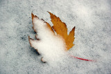 Yellow Maple Leaf in Freshly Fallen Snow