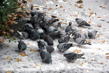 Pigeons Foraging in the Snow