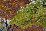 Maple & Oak Tree Foliage