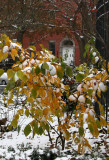 Snow, Witch Hazel Foliage & The Caring Community Front Door