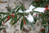Snow on Unknown Bush Foliage