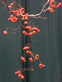 Presbyterian Church - Hawthorne Tree Berries