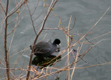 American Coot at the Reservor