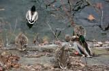 Ducks at the Reservoir
