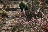 Abeliophyllum Distichum or Korean White Forsythia