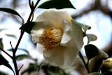 Camellia - St Luke's Church Garden