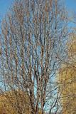 Pear & Willow Trees Near Community Garden 9C