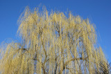 Willow Tree at the Community Garden 9C