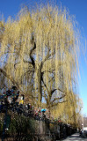 Budding Willow Trees at La Plaza Cultural Community Garden