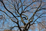 Maple Tree Branches & Buds