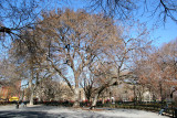 Hare Krishna Elm Tree