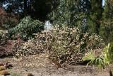 Edgewortia or Paper Bush