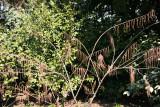 Ladies Border Garden - Stachyurus praecox or 'Rubrifloria'