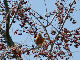 Children's Adventure Garden - Robin in a Crab Apple Tree
