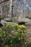 Daffodils near 65th Street Traverse Road