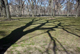 Shadows and American Elms near the Mall