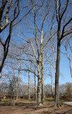 Elm and Sycamore Trees near Rumsey Play Field
