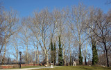 Sycamore Trees near Rumsey Play Field