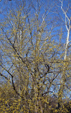 Cornus Mas Dogwood in Bloom