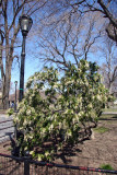 Pieris Bush in Bloom near Betheda Fountain