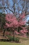 Park View - Prunus Tree Blossoms
