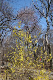Forsythia in the Rambles