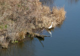 Egret & Turtles at Turtle Pond from Belvedere Castle