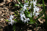Chionodoxia or Starflowers - Shakespeare Garden