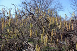 Unknown Catkin Bush - Shakespeare Garden