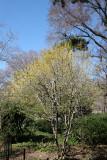 Cornus mas Dogwood - Swedish Cottage Shakespeare Garden Entrance