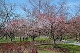 Cherry Tree & Peony Garden