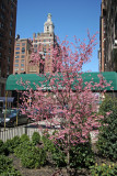 Uptown View - Prunus Tree in Blossom