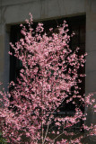 Prunus Tree Blossoms