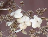 Last Year's Hydrangea Blossoms