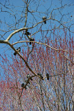 Pigeons on a Sycamore Tree Branch & Maple Tree New Foliage