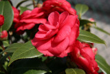 Red Camellias
