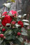 Red Camellia Bush