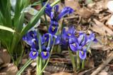 Reticula Blue Iris