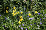Daffodils & Periwinkles